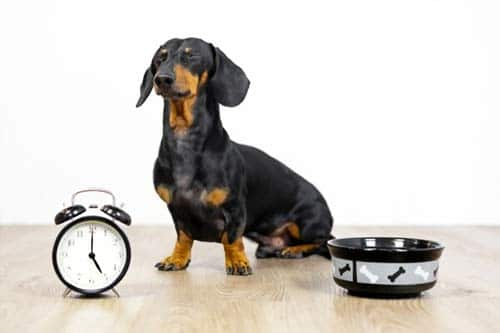 Feed-dog-the-same-time-every-day---Potty-Train-A-Dog-In-An-Apartment