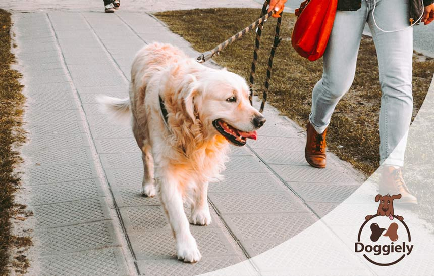 Best Dog Leash For Big Dogs (Our Top 10 Pick)
