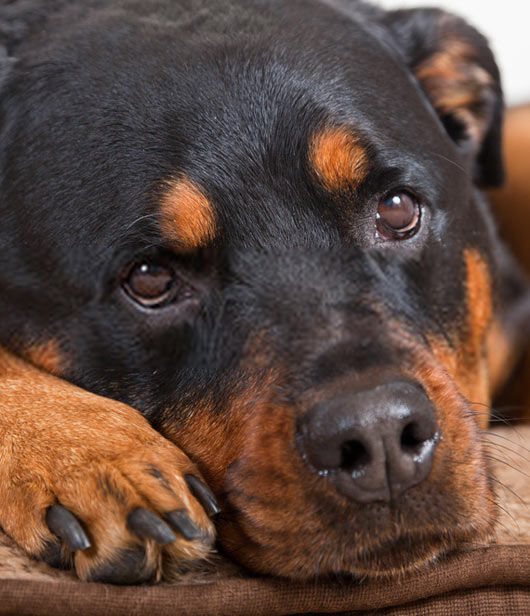 untrained rottweiler wild and sad