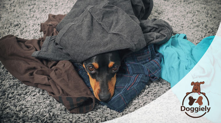 why does my dog sleep on my clothes