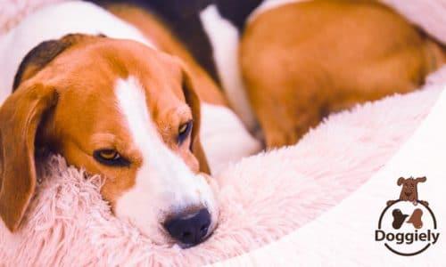 best donut cuddler dog bed