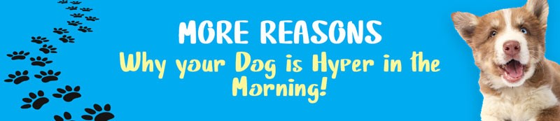 common reasons why dog is hyper in the morning
