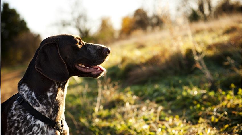 trait de compétence de chasse - raison pour laquelle les chiens mangent des sous-vêtements