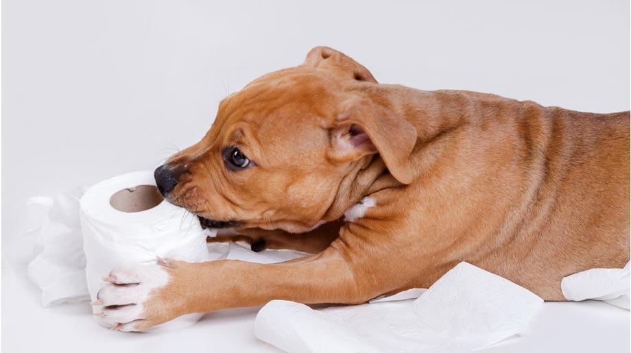 syndrome de pica - raison pour laquelle les chiens mangent des sous-vêtements