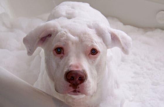 steps to bathe wash a pitbull