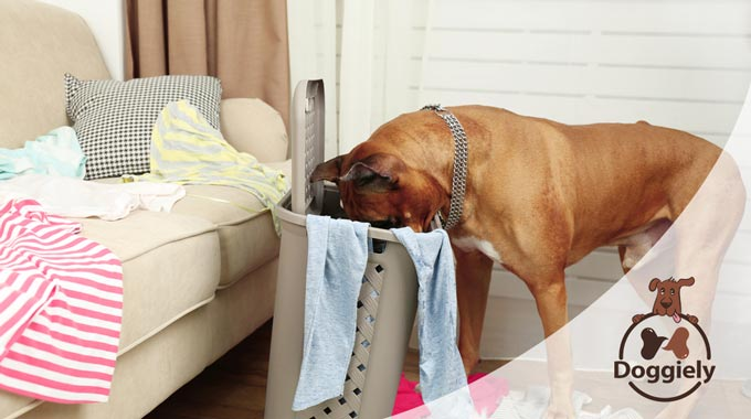 why does my dog eat my underwear?
