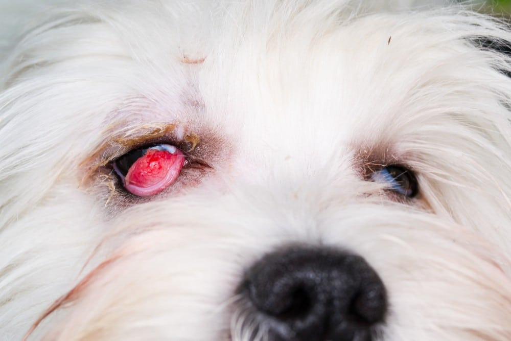 dog eye roll back in the head