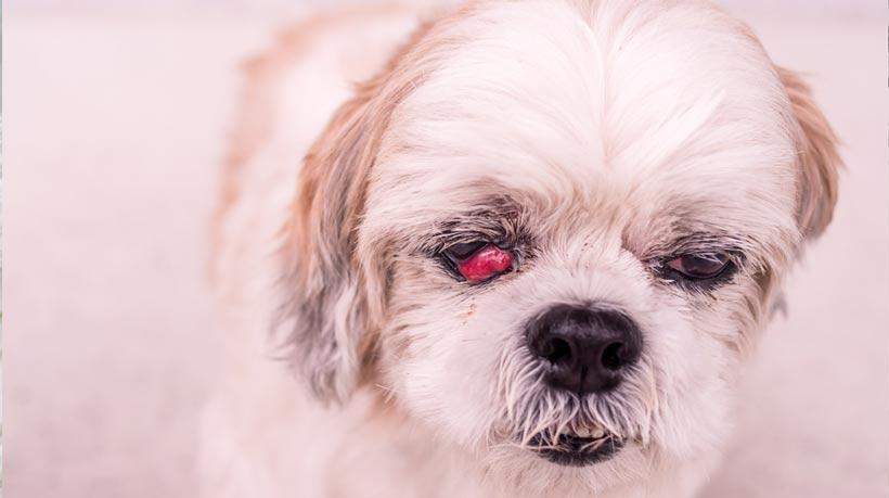 old Shih-Tzu dog with cherry eye disease