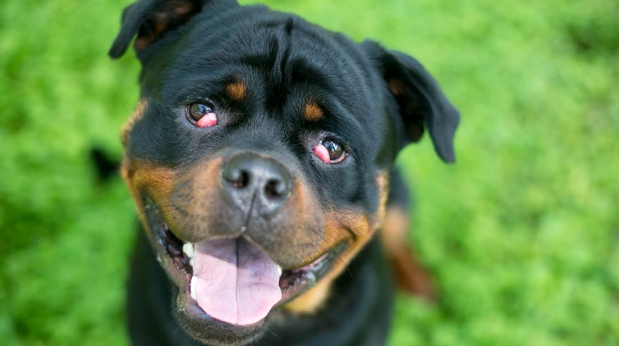 rottweiler dog with dog eyelid